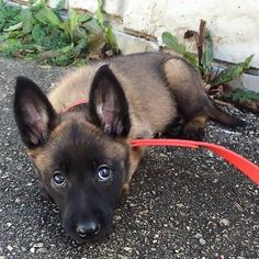 Via @yourdogsinsta Please PM for credit. 😻🤤🐶🐱🐭🐹🐰🦊 *Ces animaux sont tellement adorables* #Magnifique #Adorable #Cute #Love #Animaux #Craquant #Mignons #Choux #Baby #Beau #Bébé #Sweetness Belgian Malinois Puppies, Belgium Malinois, Belgian Shepherd, Shepherd Dog, Pitbull, Dog Whisperer, Hiking Dogs, Cute Dogs And Puppies, Dog Names