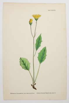 Vintage Dandelion Wall Art, Yellow Flower Print, Antique Botanical Print 1866 Sowerby Botanical Hawkweed, Dandelion Gift for Mother available from OldMapsandPrints.Etsy.com #DandelionWallArt #AntiqueBotanicalPrint #SowerbyBotanical #DandelionWildflowerPrint
