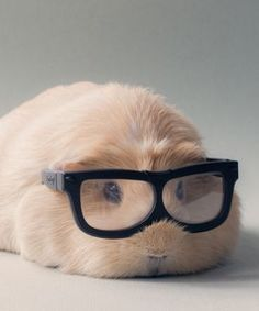 Professor BooBoo's Guinea Pig Cuteness Might Kill Us All