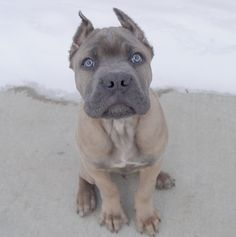 formentino+cane+corso   formentino cane corso - group picture, image by tag - keywordpictures ...