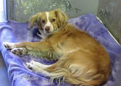SAFE --- A4805909 I am a very friendly male tan/white Border Collie mix. I came to the shelter as a stray on March 5. available 3/9/15. Baldwin Park shelter https://www.facebook.com/photo.php?fbid=938346596177178&set=pb.100000055391837.-2207520000.1426428044.&type=3&theater