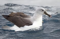 Thalassarche chrysostoma (Grey-headed Albatross) Сероголовый альбатрос