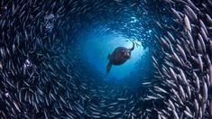 Galápagos sea lion swims through a school of black-striped salema fish off Santa Cruz Island, Galápagos Islands, Ecuador (© David Fleetham/V...