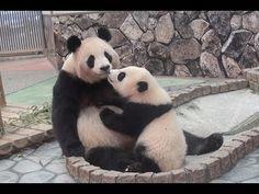 【抱きついてチュー❤】結浜ママにたっぷりあまえる❤【おっぱいタイム♪】 Giant Panda -Rauhin&Yuihin- ☆to suckle♪ - YouTube