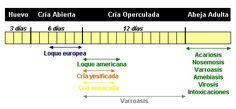 SINTOMATOLOGÍA PATOLOGICAS DE LAS ABEJAS - PATOLOGICAL SYMPTOMS OF BEES.