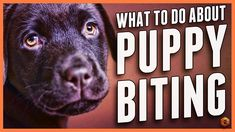 If your dog starts to bite hard or aggressively, it's important that you take the steps to put a stop to it as soon as possible. This will help to ensure that biting doesn't become an issue later on in their life Puppy Biting, Training Your Puppy, Dog Training Tips, Potty Training, Training Schedule, Training Videos, Aggressive Dog, Pomeranian Puppy, Animales