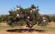The_Goat_Tree