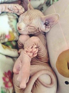 Your typical, fur-covered kittens may get most of the attention, but there's just something unearthly sweet about a Sphynx kitten.
