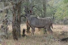 See the Kudu when on a Camdeboo Adventure Tour- Graaff-Reinet