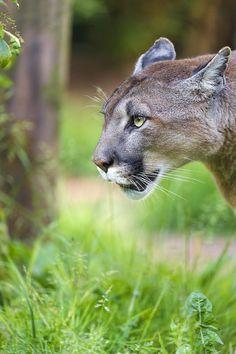 Not the best puma picture, but still decent. I Love Cats, Big Cats, Cute Cats, Beautiful Cats, Animals Beautiful, Cute Animals, Tiger Pictures, Big Cat Diary, Nature