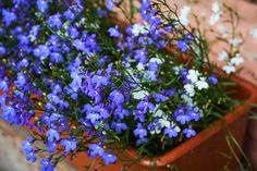 Discover 11 Beautiful Shade Plants for Your Container Garden Both annual and perennial plants can work in containers. Here are 11 plants that thrive in container gardens in shady areas of your landscape. Shade Garden Plants, Balcony Plants, Container Plants, Container Gardening, Potted Ferns, Pot Jardin, Pot Plante, Hardy Perennials, Heuchera