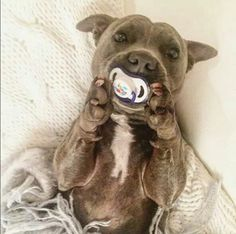 Uplifting So You Want A American Pit Bull Terrier Ideas. Fabulous So You Want A American Pit Bull Terrier Ideas. Cute Puppies, Cute Dogs, Dogs And Puppies, Doggies, Chihuahua Dogs, Cute Baby Animals, Animals And Pets, Funny Animals, Pit Bulls