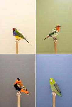 """plentyofcolour_lukebird_g1a: photography by Luke Stephenson from the """"Original Incomplete Dictionary of Show Birds"""""""