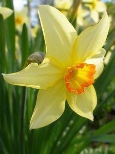 NarcissPlant.jpg (450×600)