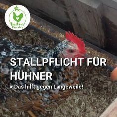 Stallpflicht für Hühner? Da ist Langeweile und Stressverhalten vorprogrammiert! Mit ein paar einfachen Mitteln hältst Du Deine Hühner während der Vogelgrippe fit und bei Laune. Stress, Rooster, Fit, Animals, Free Range, Flu, Too Busy, Couple, Animales