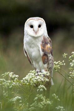 Barn owl, what a beauty