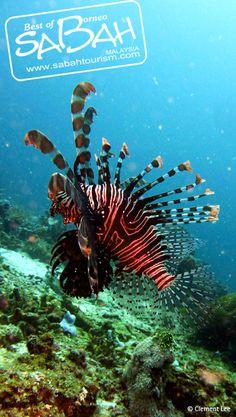 Cute Lion Fish