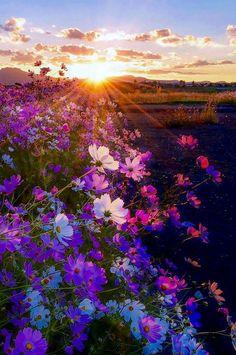 Field of flowers, sun
