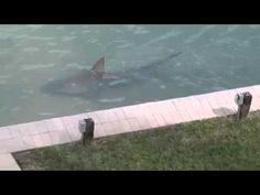 Huge shark swims alongside Florida resident's waterfront property - Business Insider