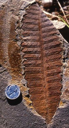Glossopteris. Gigantopteridales: (P) Major portion of Late Paleozoic and Triassic Gondwanan flora. [fossil]