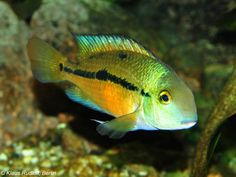 Hypsophrys nicaraguensis - Butterfly Cichlid