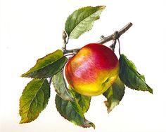 Apple with leaves illustration by Rosie Sanders