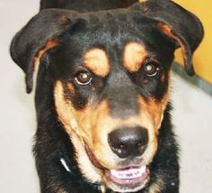 *NELSON-ID#A674676    Shelter staff named me NELSON.    I am a male, black and tan Rottweiler mix.    The shelter staff think I am about 11 months old.    I have been at the shelter since Sep 25, 2012.