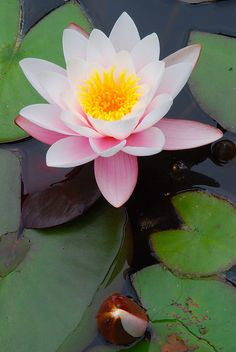 """Nymphaea """"Water Lily"""" Have a pond? Try and grow these beauties! #flower #summer #hooksandlattice"""