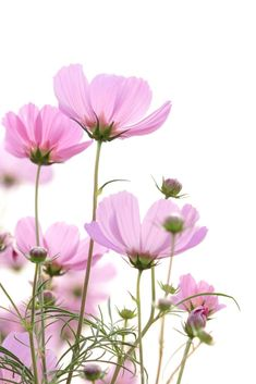 ideas for vintage flowers photography wallpaper backgrounds pink roses Vintage Flower Backgrounds, Flower Background Wallpaper, Vintage Flowers, Wallpaper Backgrounds, Spring Flowers Wallpaper, Cosmos Flowers, Flowers Nature, Art Flowers, Amazing Flowers
