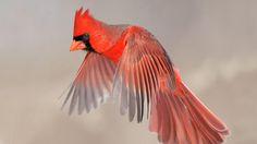 ~~Northern Cardinal~~