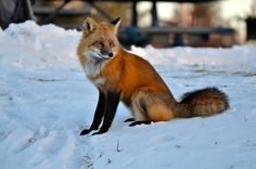 Fox Gaze by CKG88