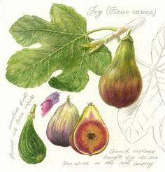 Risultati immagini per fig leaf botanical drawing Botanical Drawings, Botanical Prints, Fig Leaves, Plant Illustration, Fruit Art, Colorful Pictures, Vintage Flowers, Figure Drawing, Botany