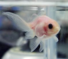 If you keep a goldfish in a dark room, it will become pale