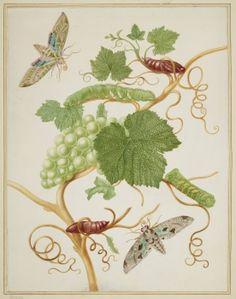 Grape Vine with Vine Sphinx Moth and Satellite Sphinx Moth