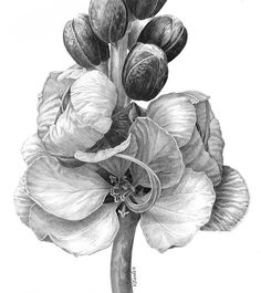 Jenna Williams - i like this drawing because of how the shading brings it to life. Graphite Drawings, Pencil Drawings, Art Drawings, Plant Illustration, Botanical Illustration, Botanical Drawings, Botanical Prints, Flower Sketch Pencil, Flor Tattoo