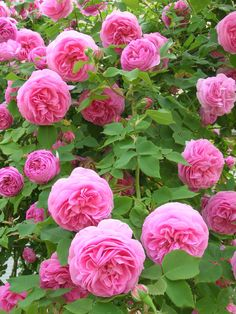 """rosa """"Louise Odier"""""""