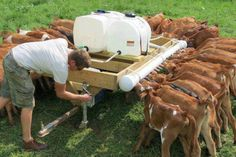 An efficient way to feed Poddy calves