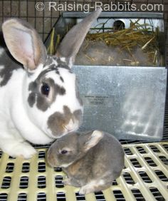 Care of baby rabbits while in the nest box. How to care for baby bunny rabbits age zero to two weeks old. Learn all about baby rabbit care