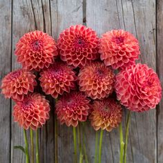 """Robin Hood - Details - Flower Type: Ball Height: 3' Site: Full Sun Days to Maturity: 80-100 days Plant Spacing: 12-18"""" Pinch: When plants are 12"""" tall"""