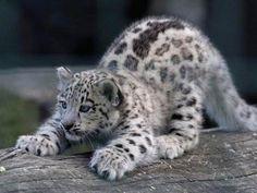 funnywildlife: llbwwb:  Baby Snow Leopard by Ocicat. Todays Cuteness:)