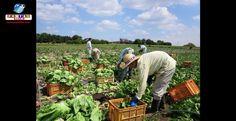 Um programa especial do Japão buscará trabalhadores estrangeiros para atuar na agricultura.