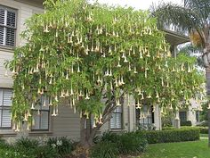 Angel's Trumpet tree: Beautiful trumpet-shaped flowers hang all over the tree.