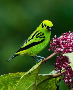 Emerald Tanager (Tangara florida) is a species of bird in the Thraupidae family. It is found in Colombia, Costa Rica, Ecuador, and Panama. Its natural habitats are subtropical or tropical moist lowland forests and subtropical or tropical moist montane forests.