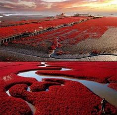 OMG theres a Red beach!!! This is where I need to be. Panjin Red Beach, China