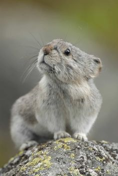 Pika sniffing the air  #photographytalk #pika
