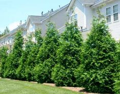 Thuja Green Giant. The best evergreen for privacy. Fast growing, drought and pest tolerant. Very adaptable and easy to grow. Order today & save with Promo Code: BLOOMS5 #BrighterBlooms
