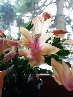 Grudnik, któremu zapewni się okresy wypoczynku wiosną i wczesną jesienią, będzie kwitł regularnie.