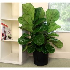 Delray Plants 8-3/4 in. Ficus Pandurata Bush in Pot-10PAN - The Home Depot