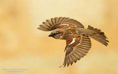 House Sparrow by Manuel Grosselet