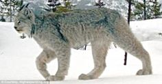 The Canadian lynx – a large cat native to the wilds of Canada – is generally elusive, and shies away from using highway-wildlife overpasses.  But one lynx did just that, and the extraordinary event was captured on camera.